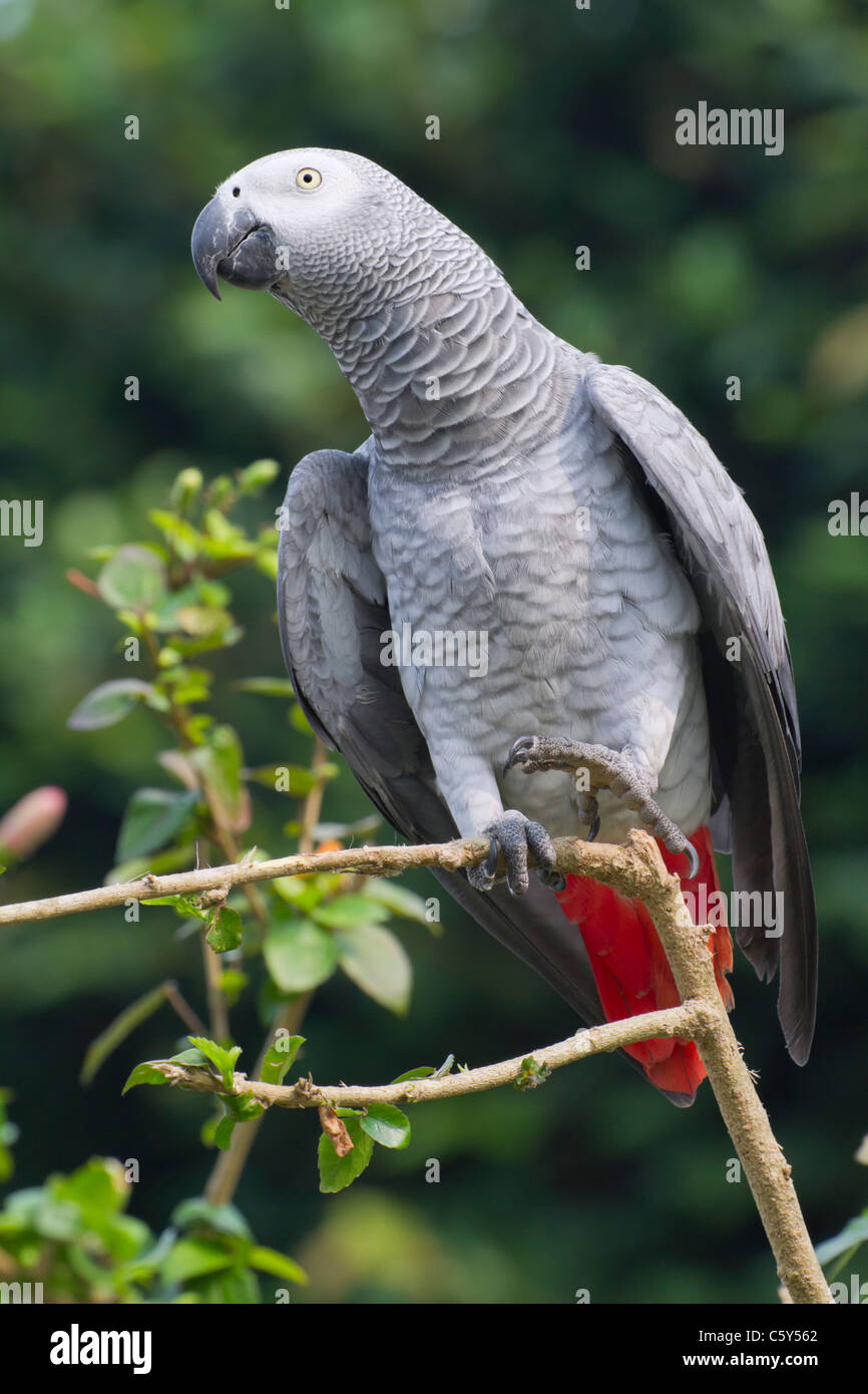 African grey parrot (Psittacus erithacus). - Stock Image
