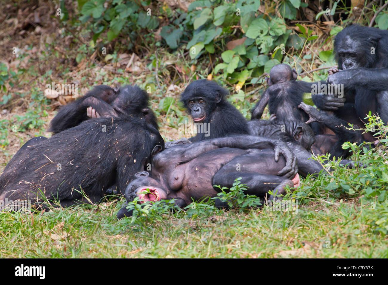 A family group of bonobo (Pan paniscus), D.R. Congo. - Stock Image