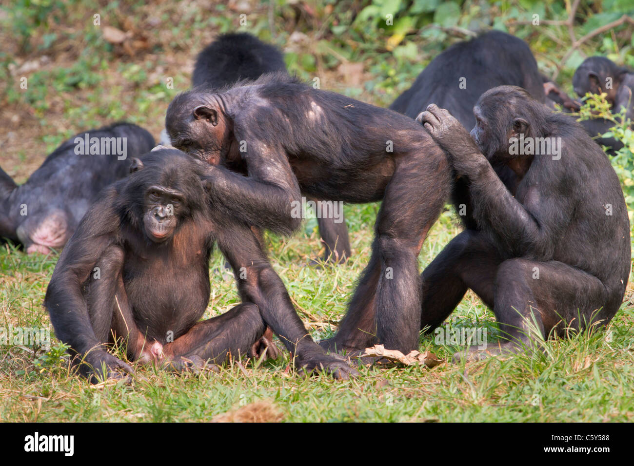 Bonobo (Pan paniscus) doing grooming, D.R. Congo. - Stock Image