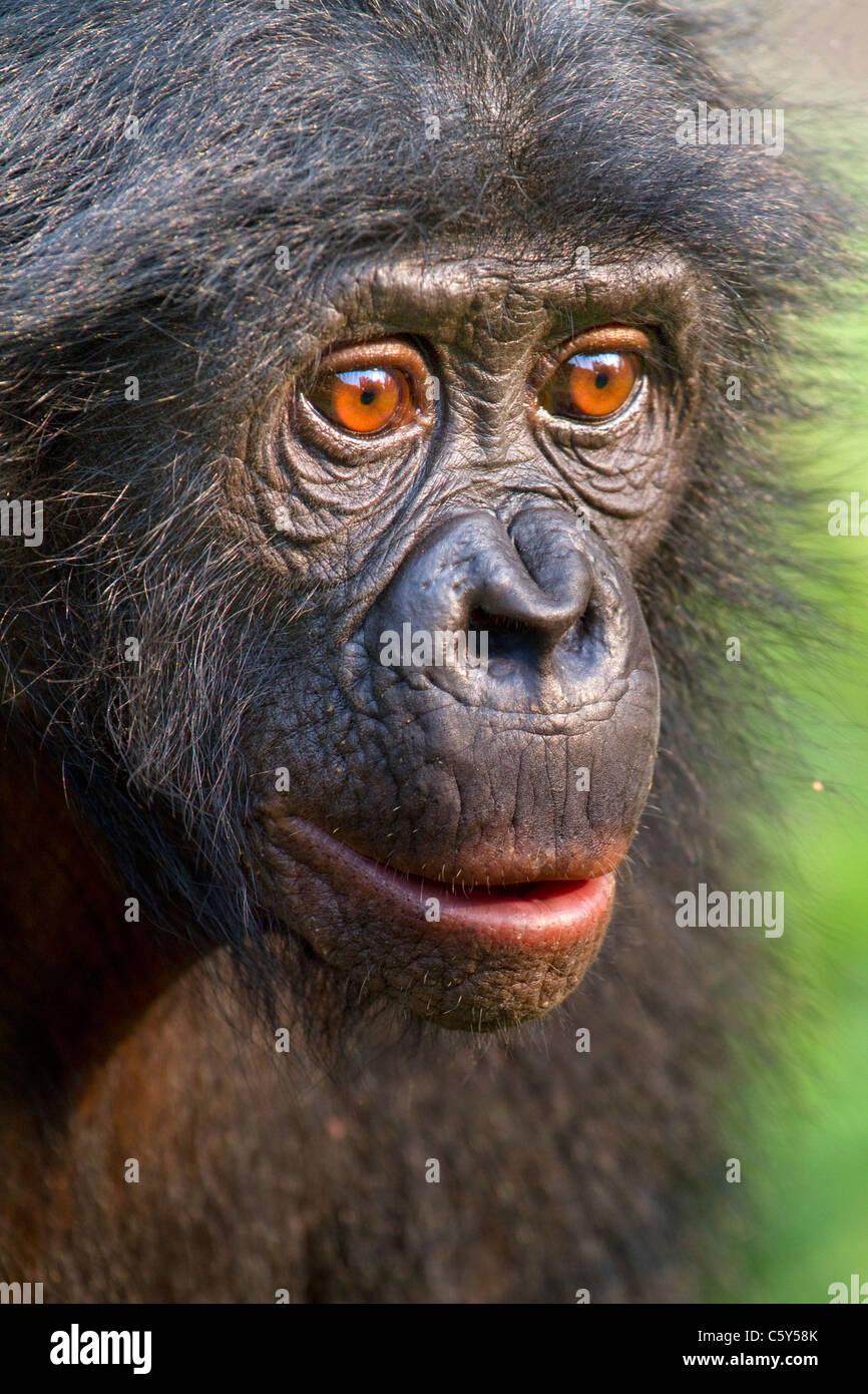 Bonobo (Pan paniscus) portrait, D.R. Congo. - Stock Image