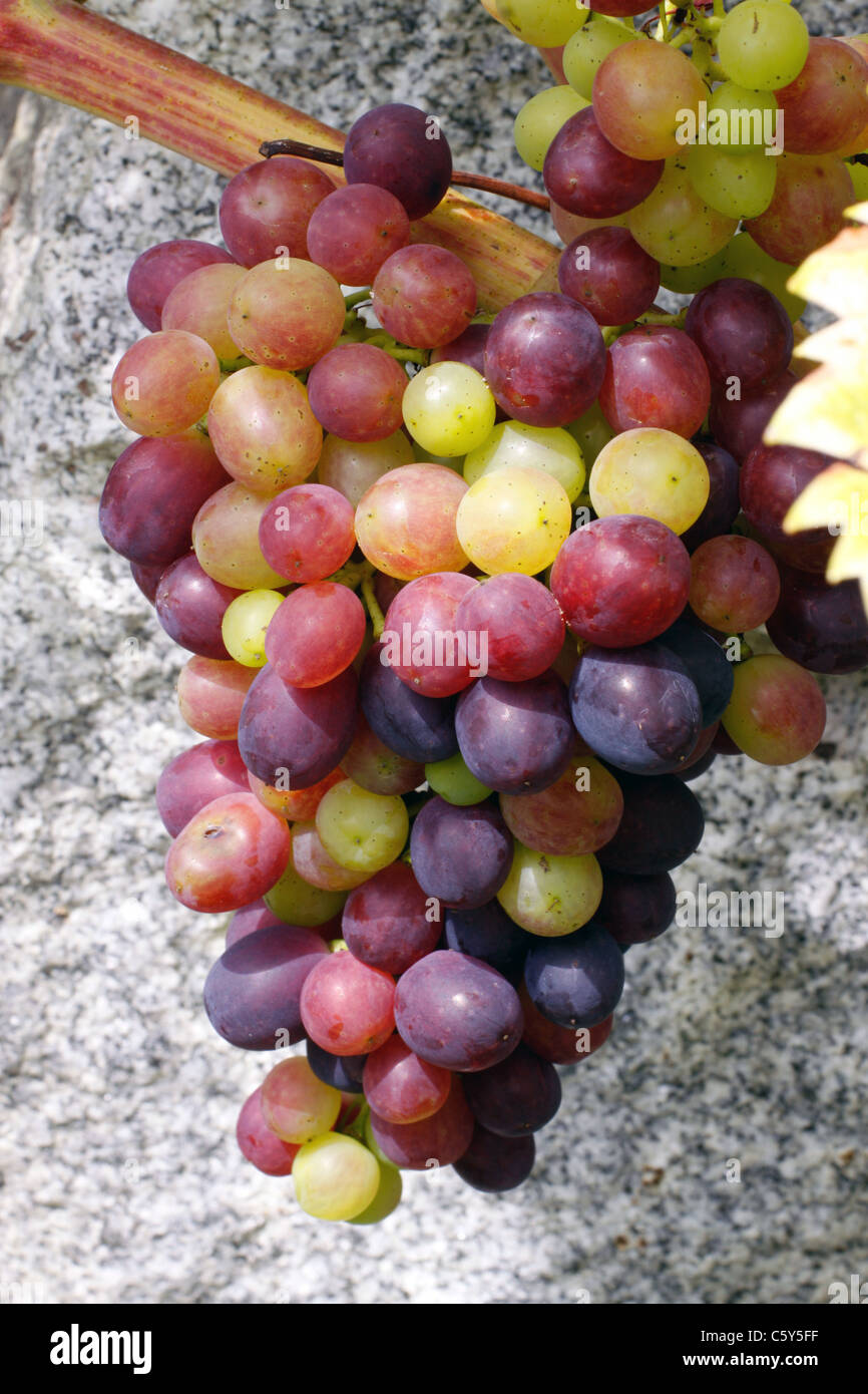 Wein, Weintraube, wine, grape Stock Photo