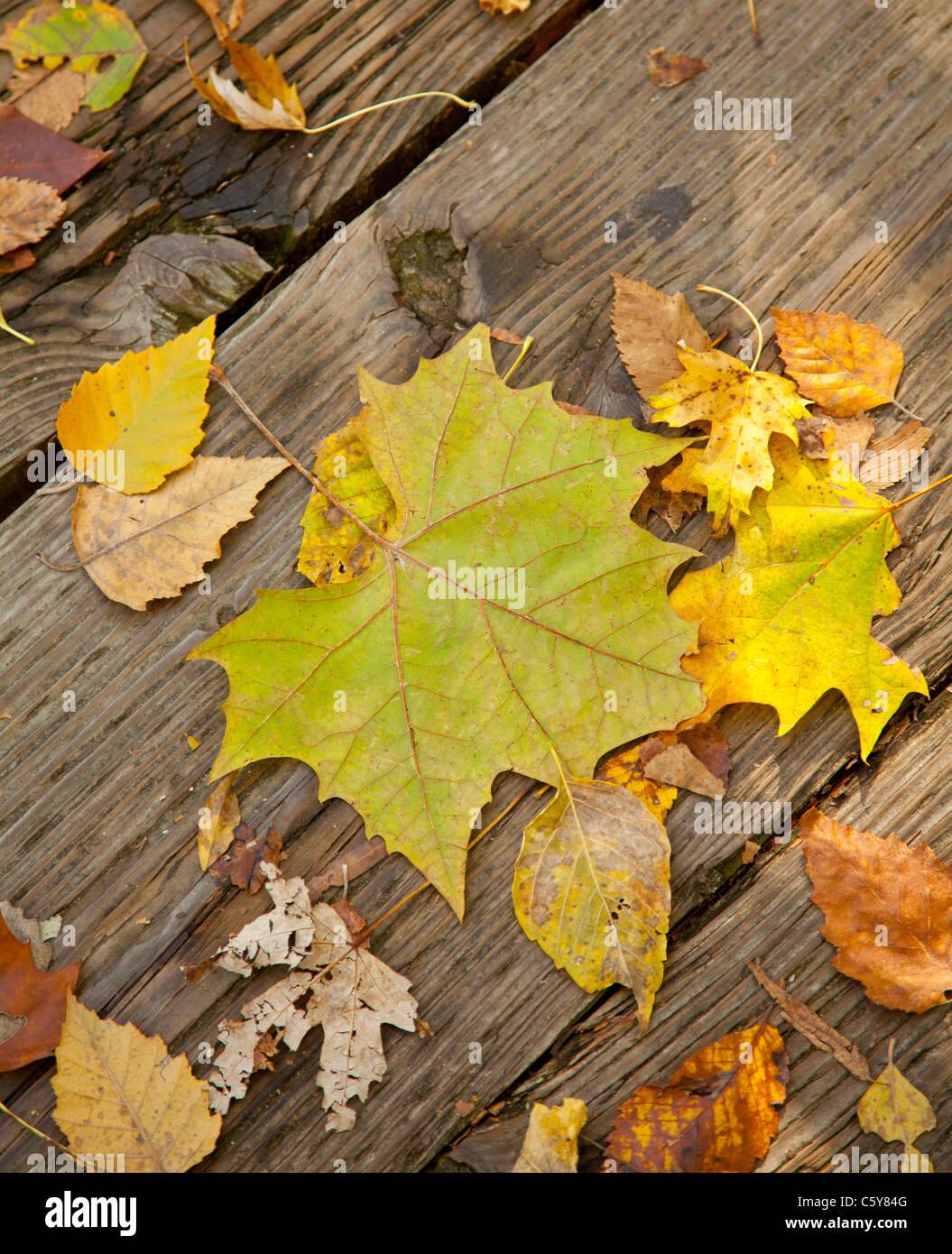 leaf autumn fall wood planks stems seasons - Stock Image