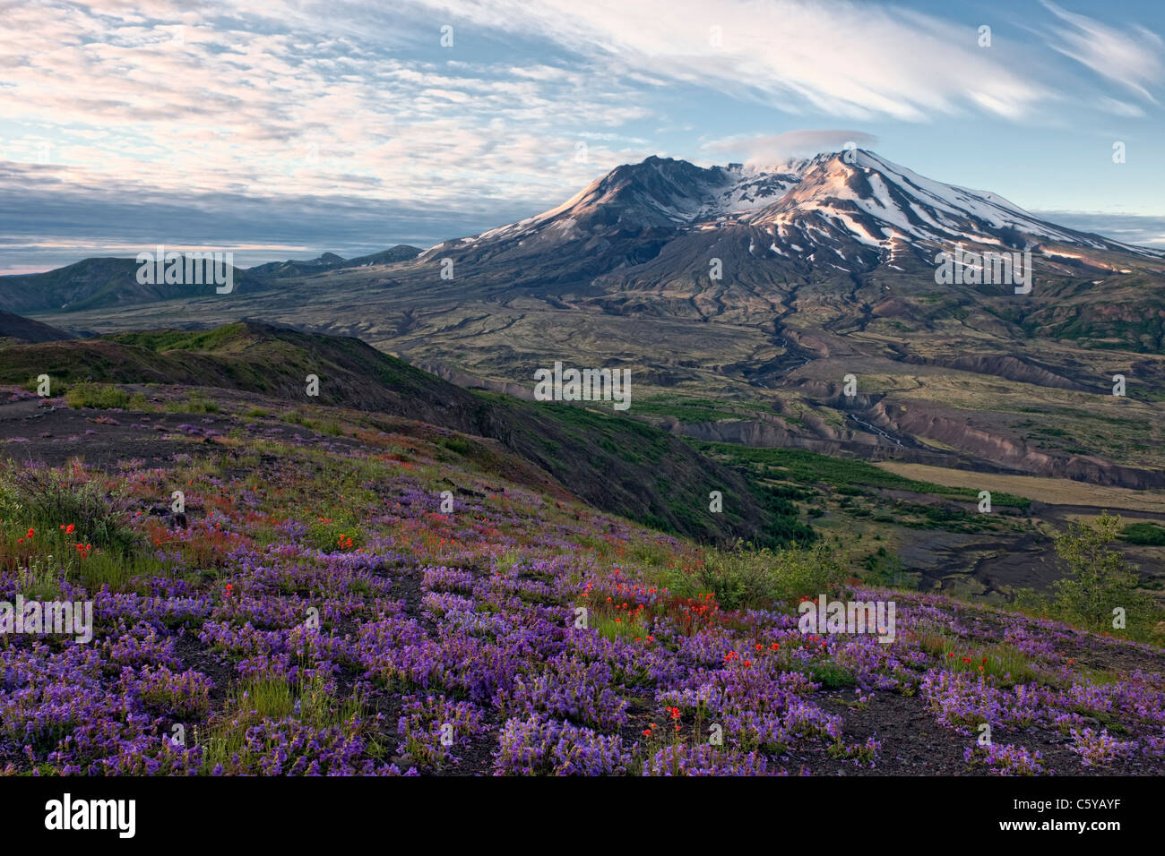 Sunrise over Washington's Mount St Helens National Volcanic Monument and the blooming wildflowers along Johnston - Stock Image