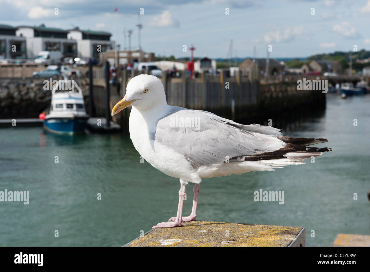 Closeup of a white and gray seagull standing on a post in a fishing harbor - Stock Image