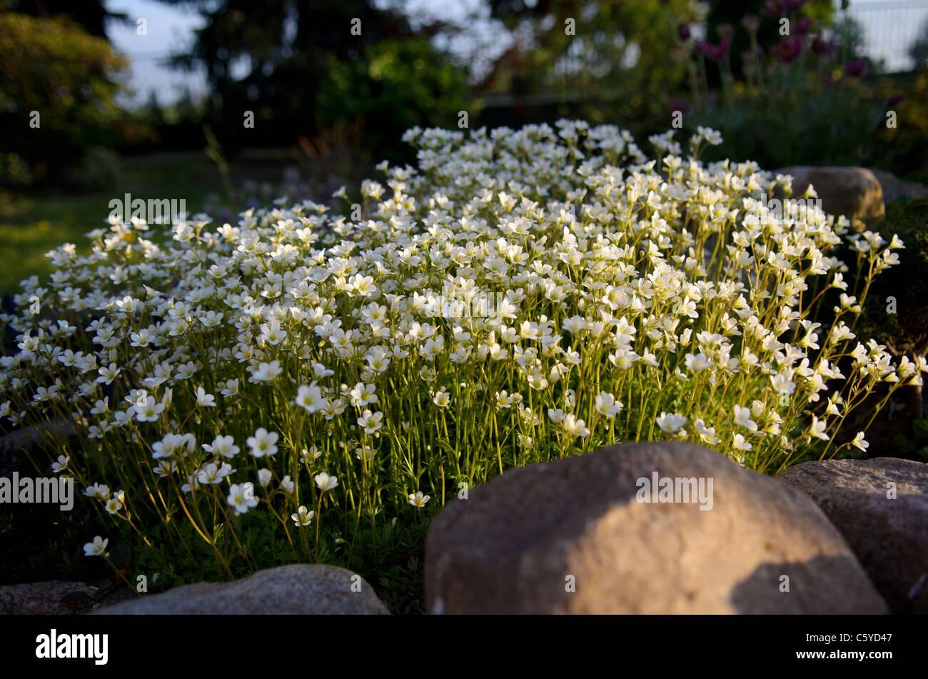 Bunch of small white flowers on a rockery stock photo 38097031 alamy bunch of small white flowers on a rockery izmirmasajfo