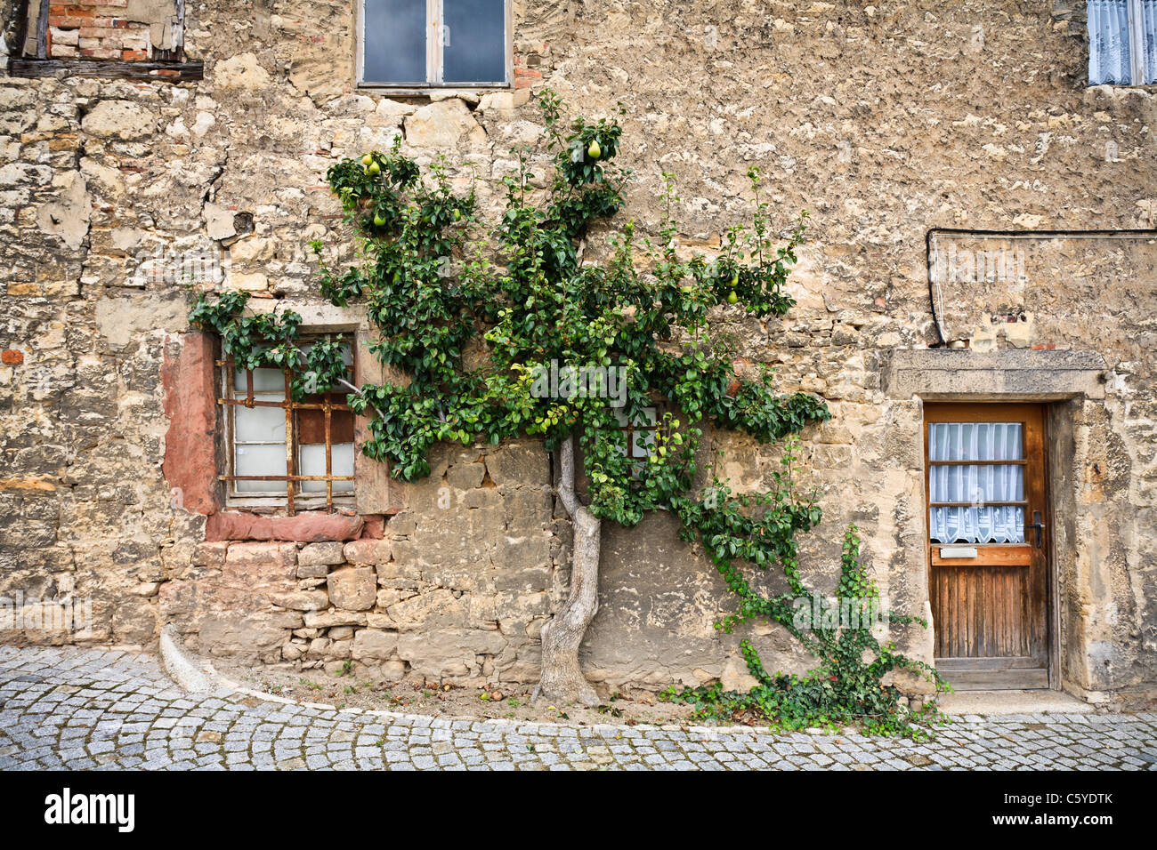 Pear tree growing (and bearing fruit) against an old stone wall - Stock Image