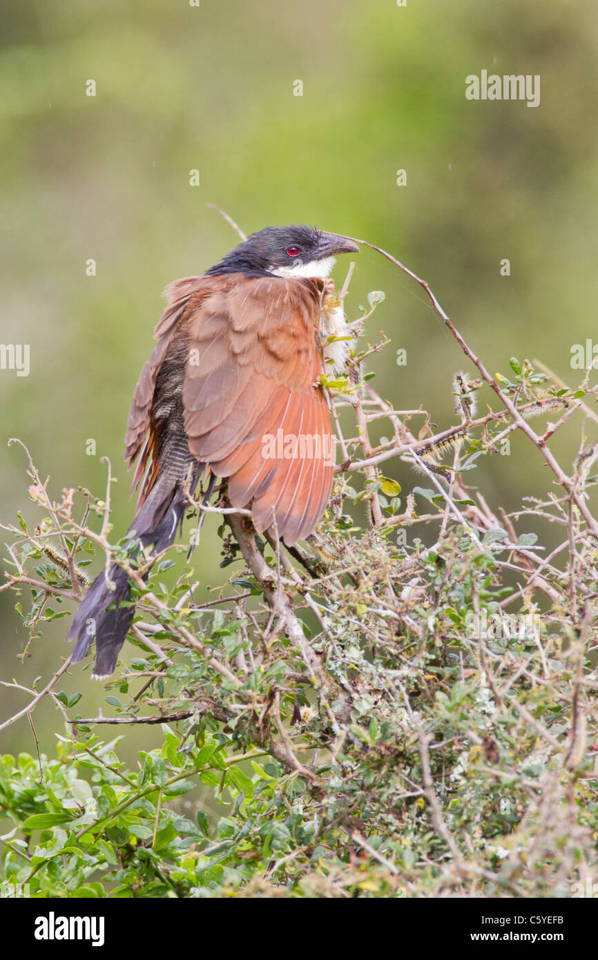 Burchell's coucal (centropus burchelli) at Addo Elephant Park in South Africa. - Stock Image