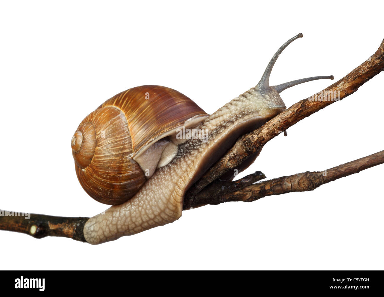 fine closeup image of italian snail - Stock Image