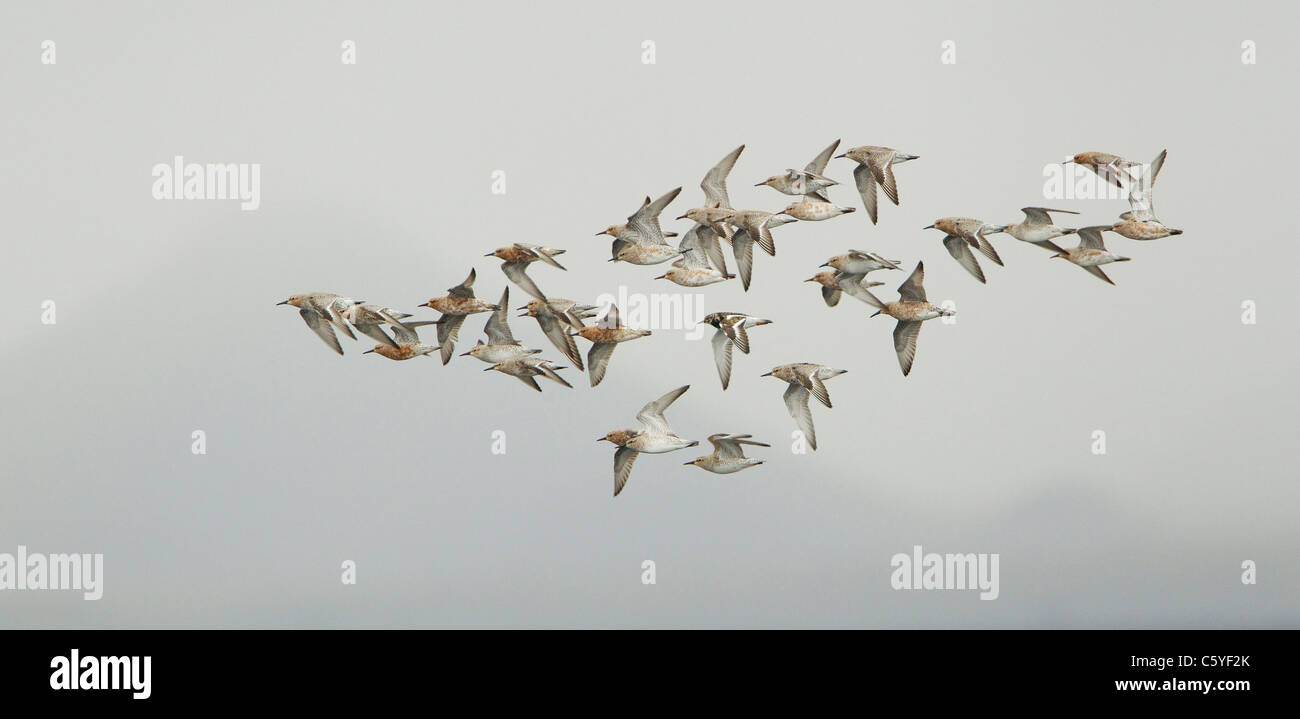 Knot (Calidris canutus), small flock in flight in spring plumage. Iceland. - Stock Image