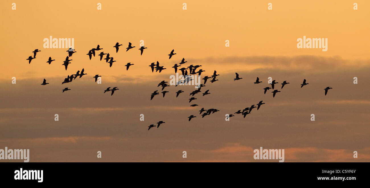 Brent Goose (Branta bernicla), group silhouetted in flight at sunset. Iceland. - Stock Image