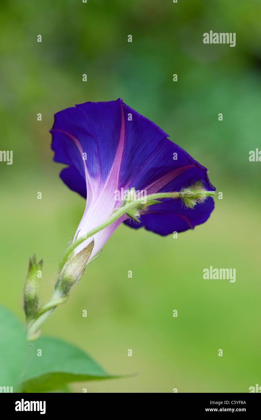 Ipomoea 'morning glory' Grandpas Ott in an English garden - Stock Image