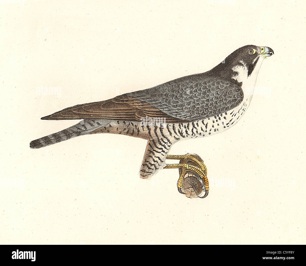 The Duck Hawk (Falco anatum) (or, Peregrine Falcon - Falco peregrinus) vintage bird lithograph, James De Kay, Zoology - Stock Image