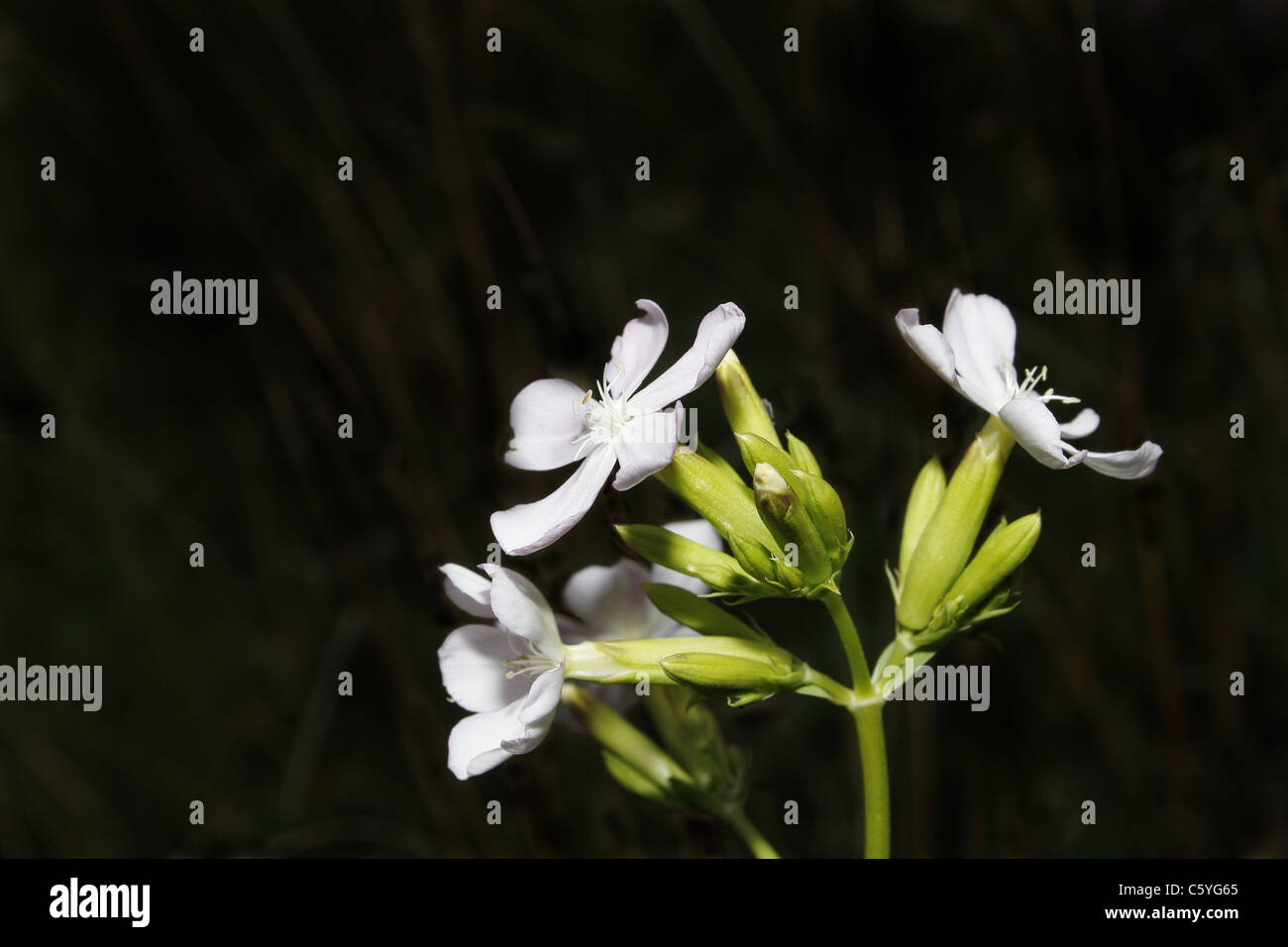 image of pale lilac flower against black background - Stock Image