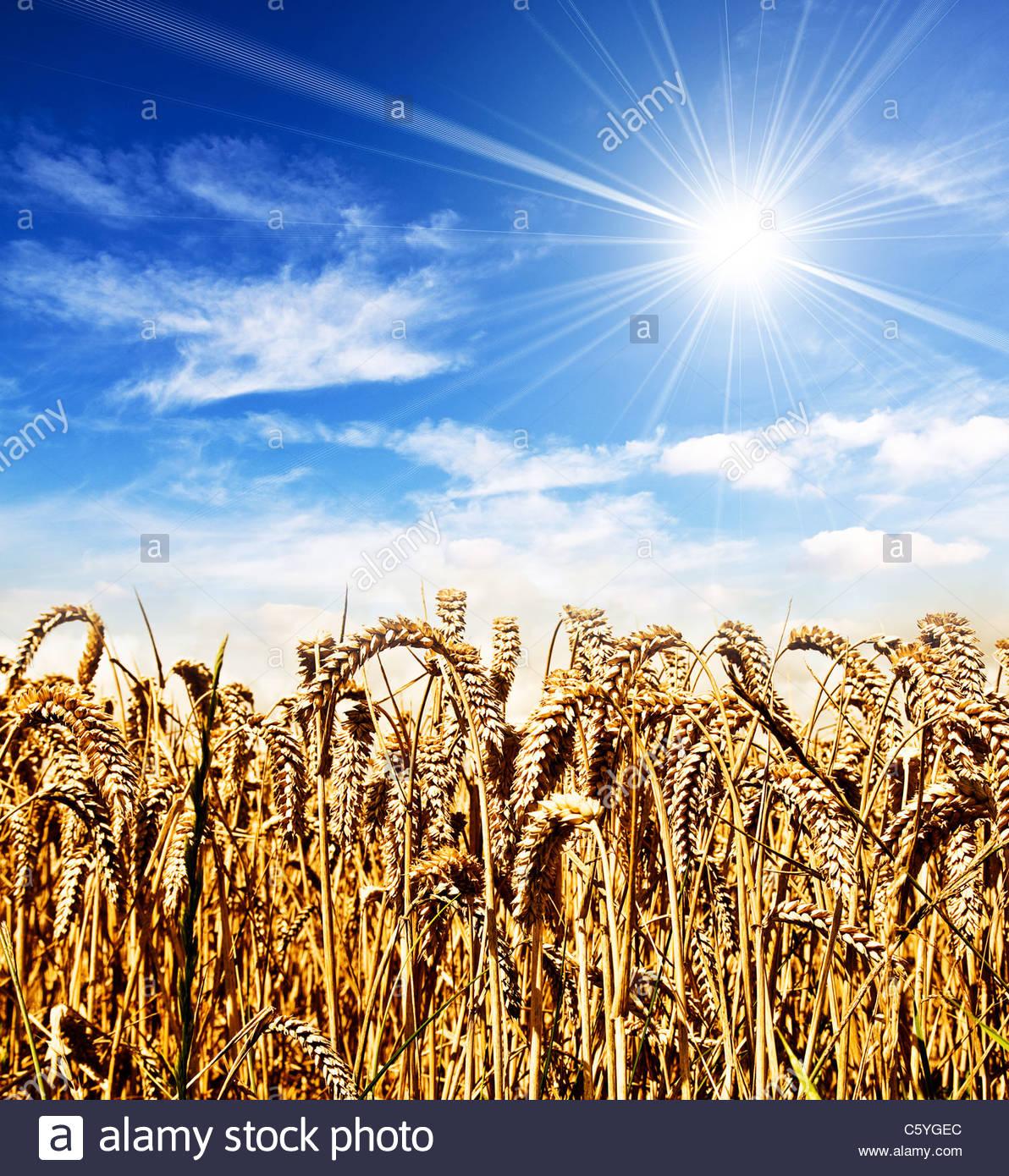 sunshine cornfield - Stock Image