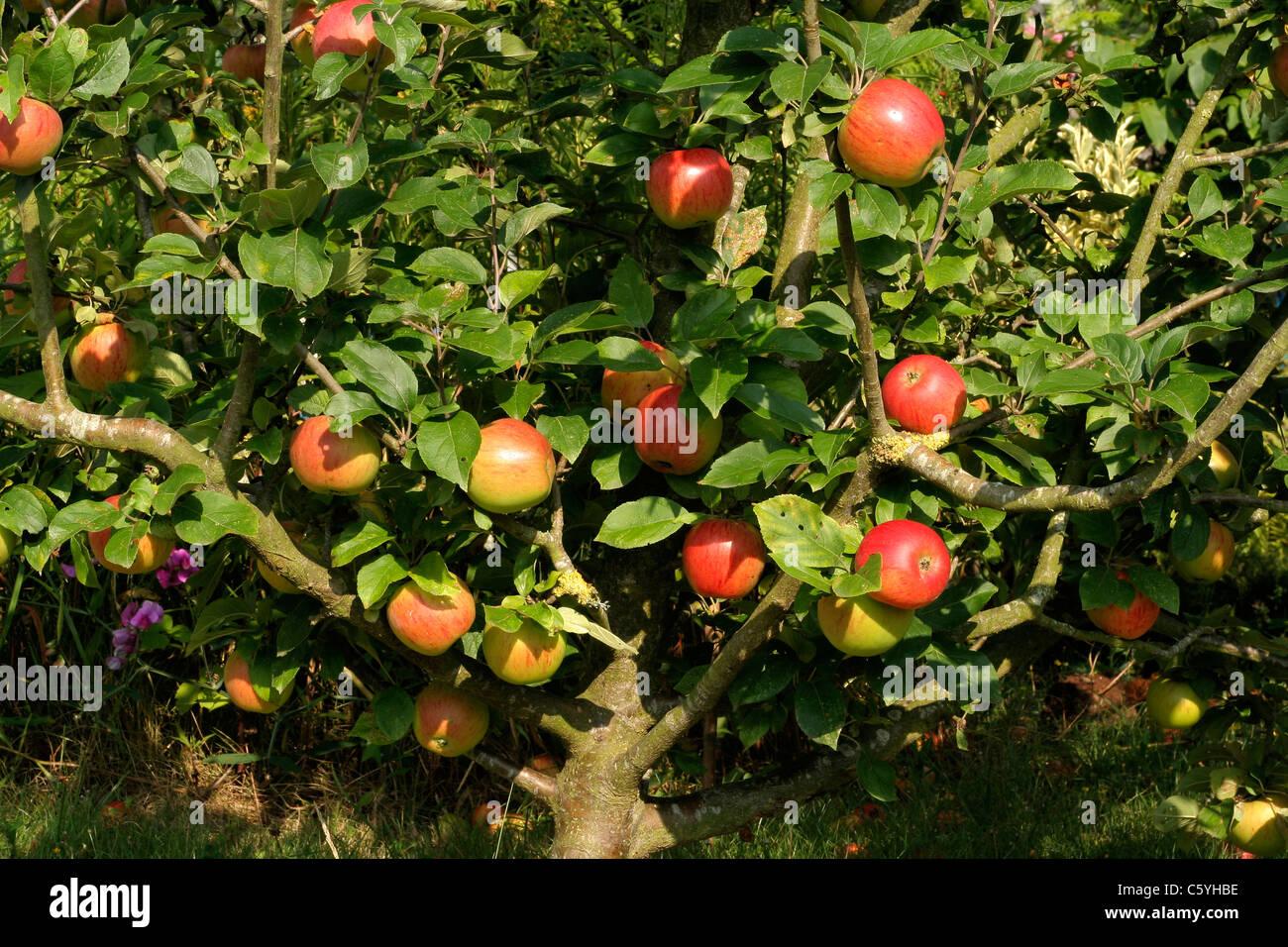 Pommier /'Reine des Reinettes/' Malus communis orange