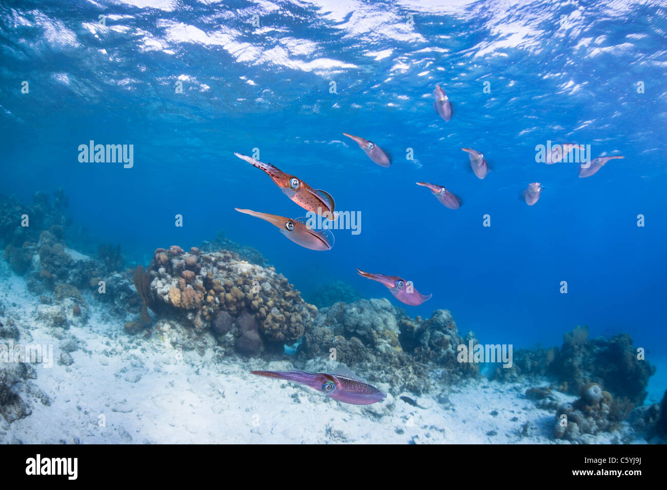 Caribbean Reef Squid (Sepioteuthis sepioidea), school hovering over a tropical coral reef off the island of Roatan, - Stock Image