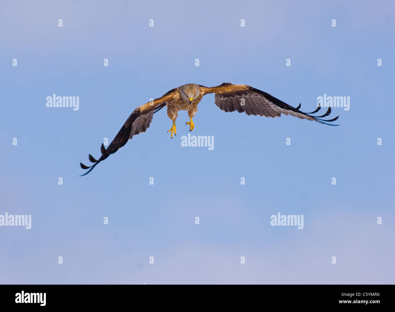 RED KITE Milvus milvus An adult in flight, lit by reflected snow, showing its talons. Mid Wales, UK - Stock Image