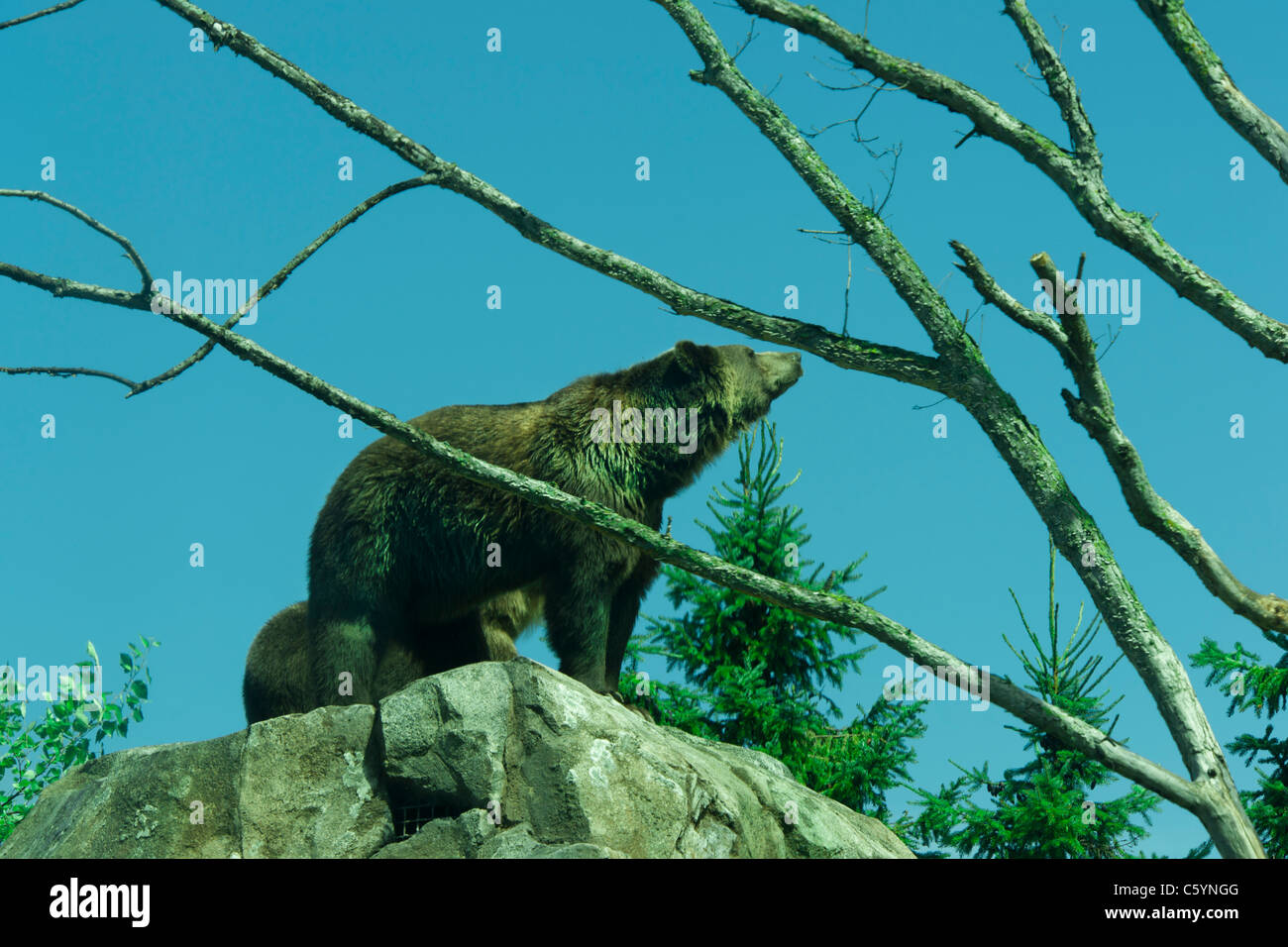 Grizzly Bear - Stock Image