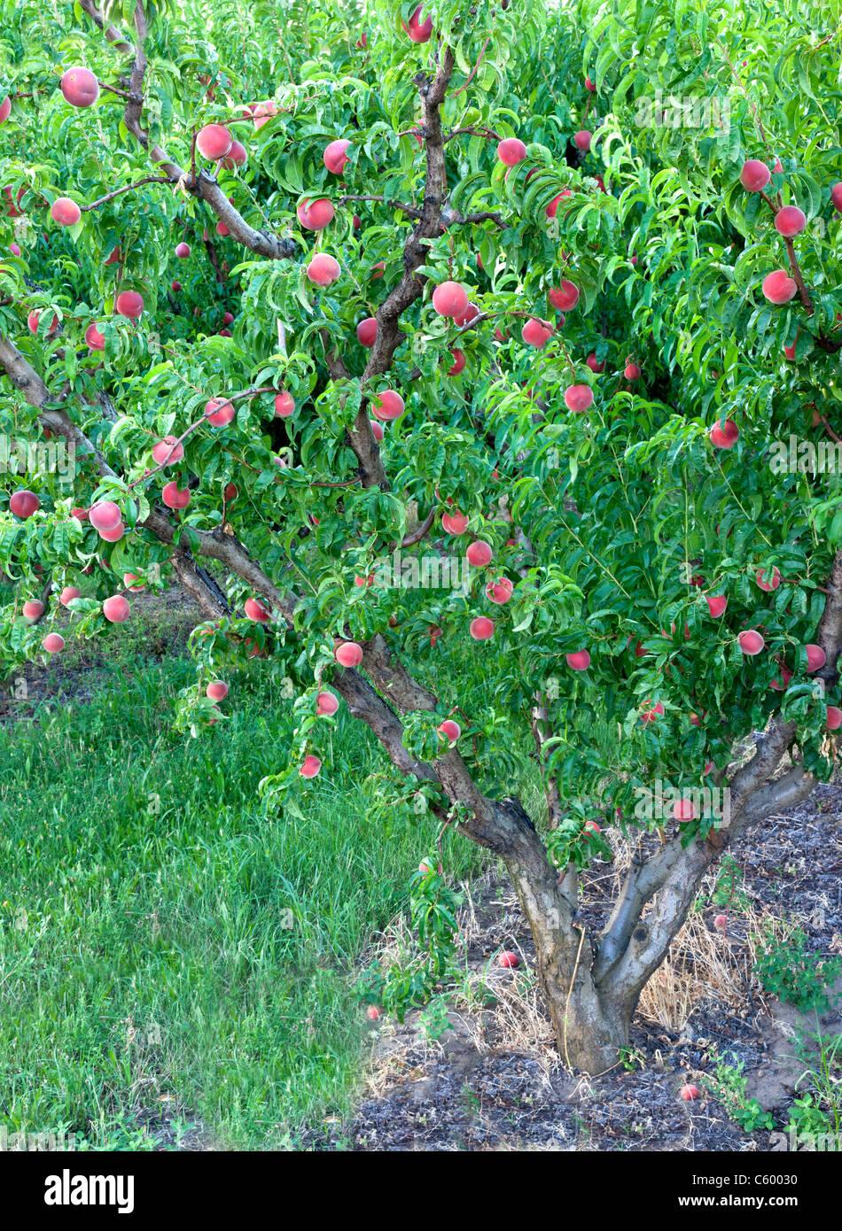 Peach tree bearing fruit 'White Lady' , - Stock Image