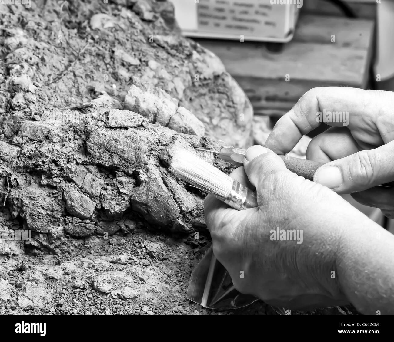 A volunteer works with both a brush and a stylus as she prepares and restores a Phytosaur fossil skull. - Stock Image