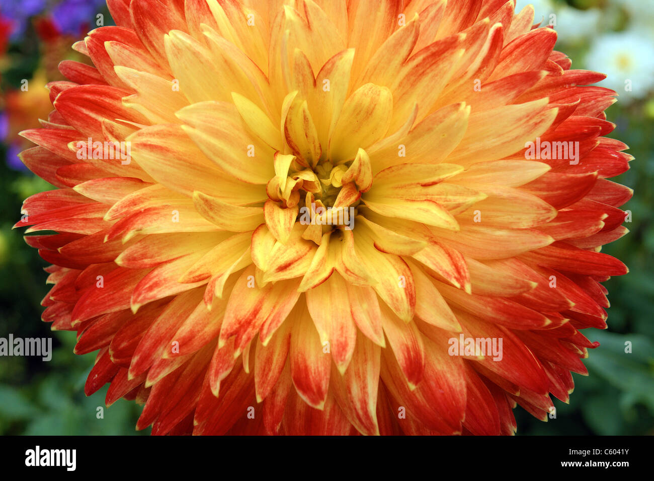 Red And Yellow Dahlia Stock Photos Red And Yellow Dahlia Stock