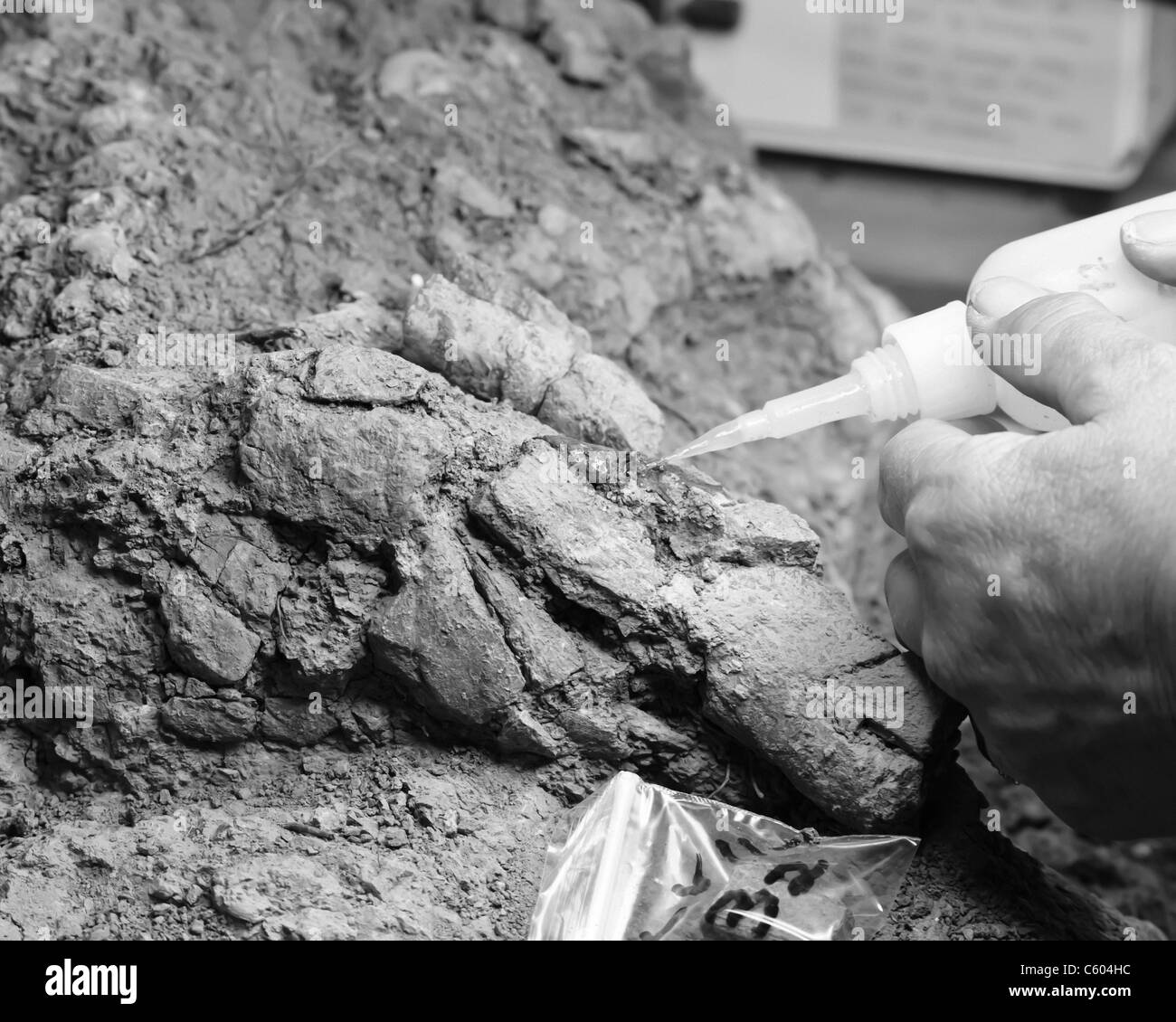 A volunteer at the Dinosaur Discover Museum applying  Acryloid to a fossil - Stock Image