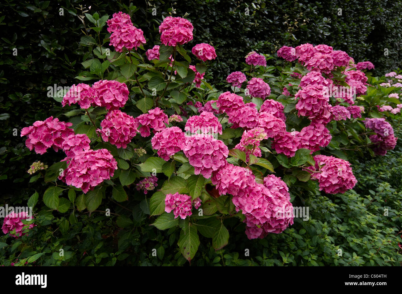 Hydrangeas in a country garden border - Stock Image