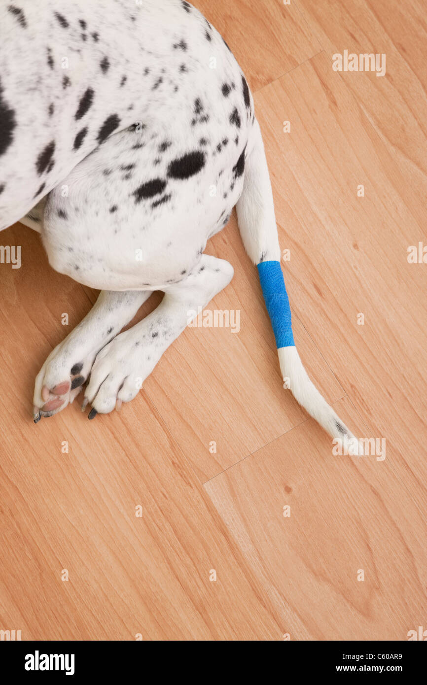 USA, Illinois, Metamora, low section of Dalmatian with tail wrapped in bandage - Stock Image
