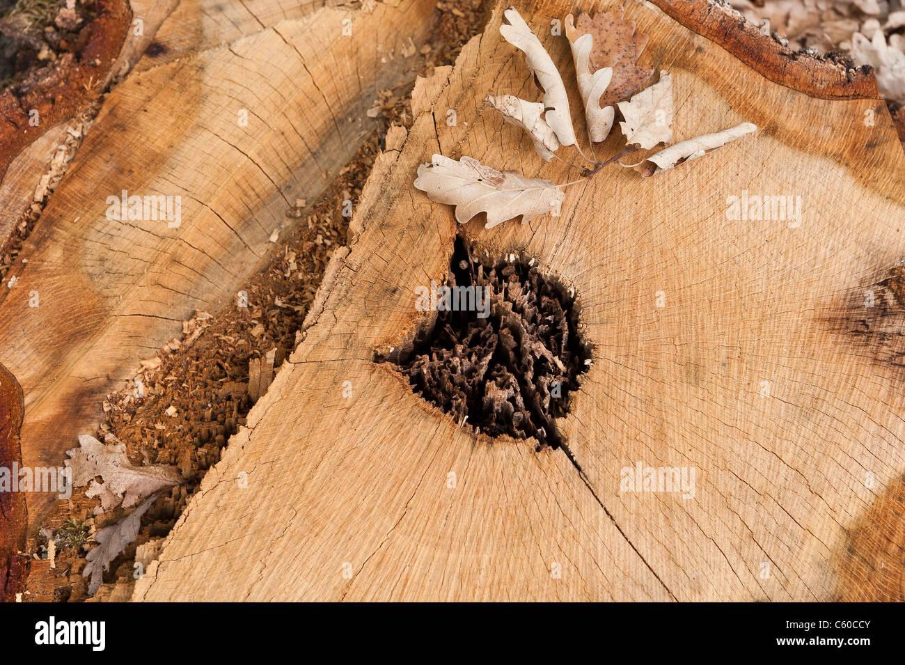 A stump of diseased of oak tree cut down - Stock Image