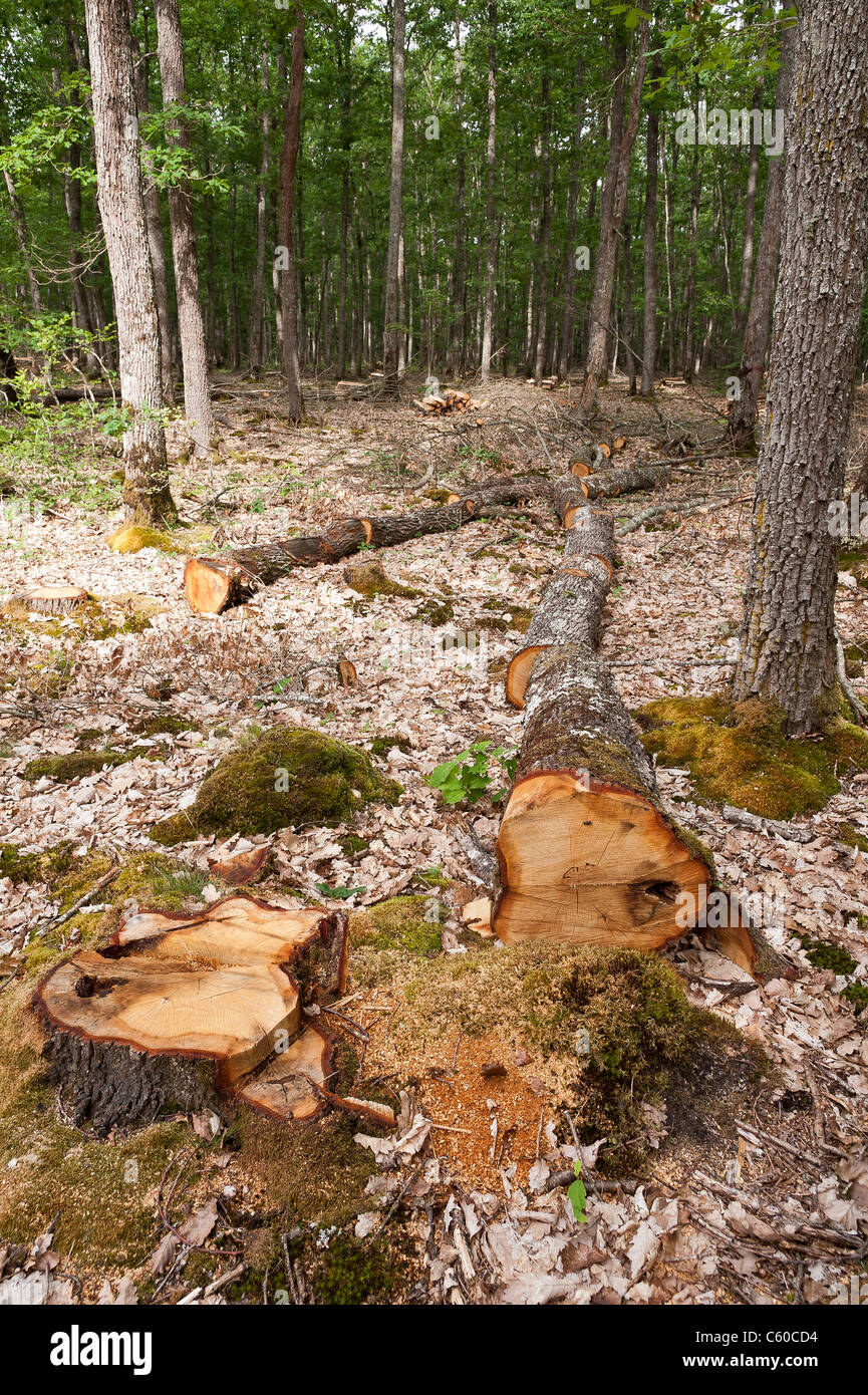 Diseased trees cut down in  Tronçais forest (03360), Allier,  Auvergne, France, Europe - Stock Image