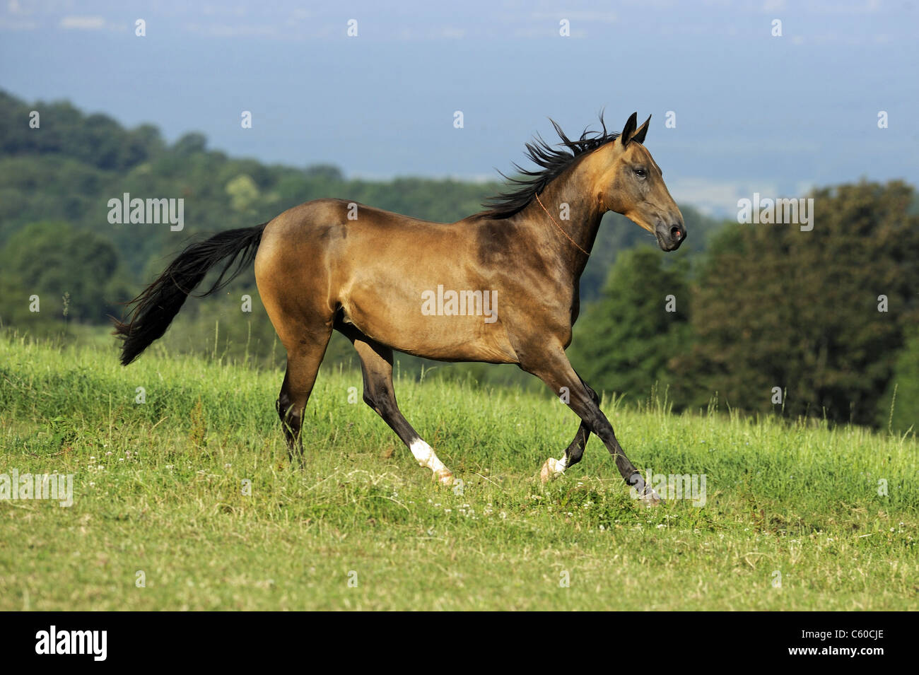 Akhal-Teke (Equus ferus caballus). Dun horse in a gallop on a meadow. - Stock Image