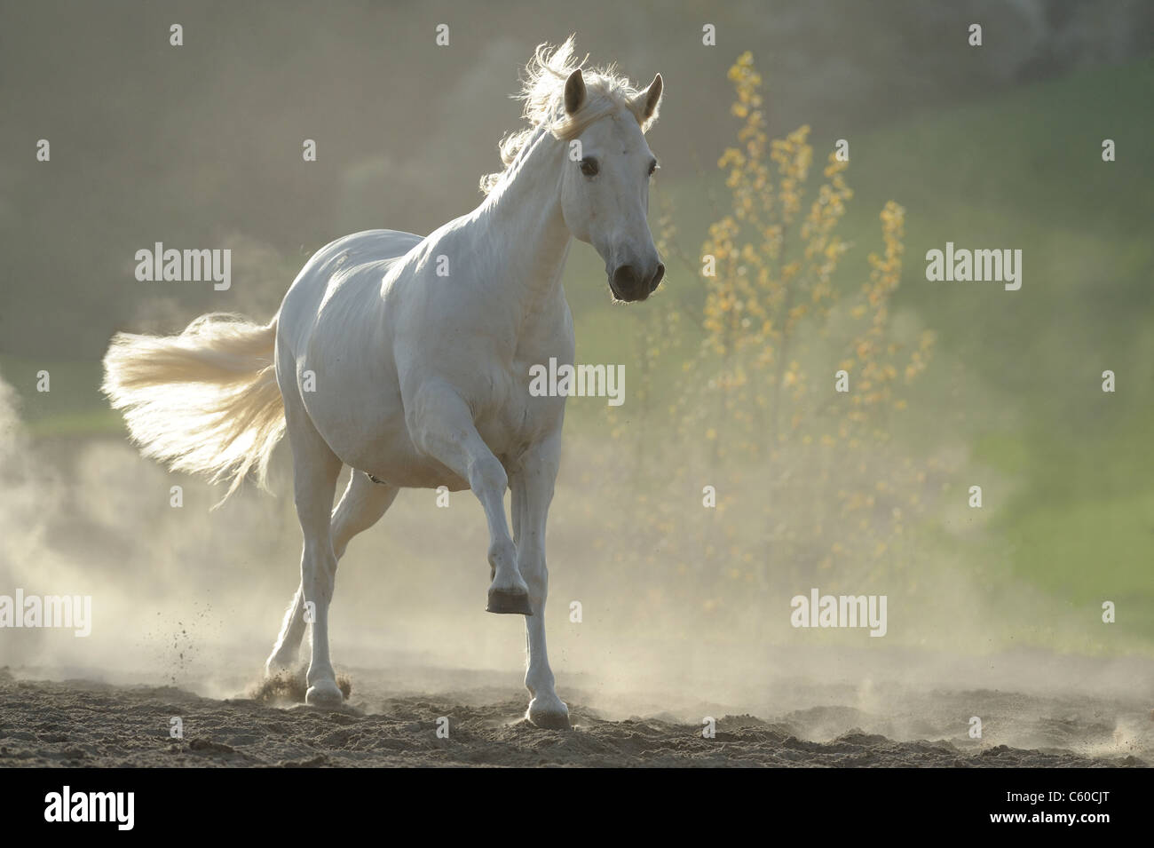 Andalusian Horse (Equus ferus caballus). Gray gelding in a gallop in a dusty paddock. - Stock Image