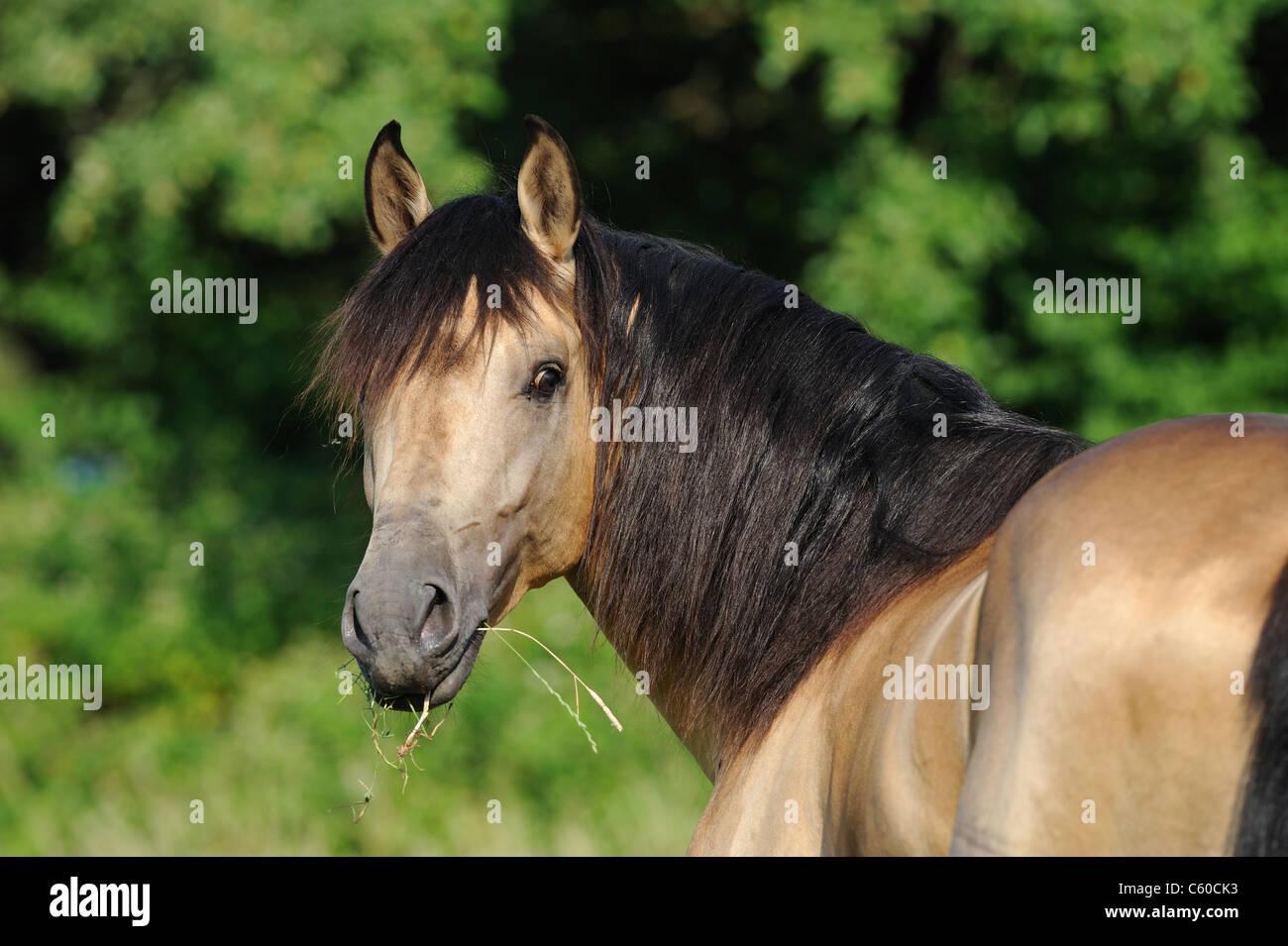 Andalusian Horse (Equus ferus caballus), portrait of dun stallion. - Stock Image