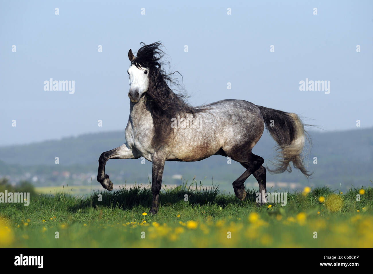 Andalusian Horse (Equus ferus caballus). Dapple-gray stallion in a trot on a meadow. - Stock Image