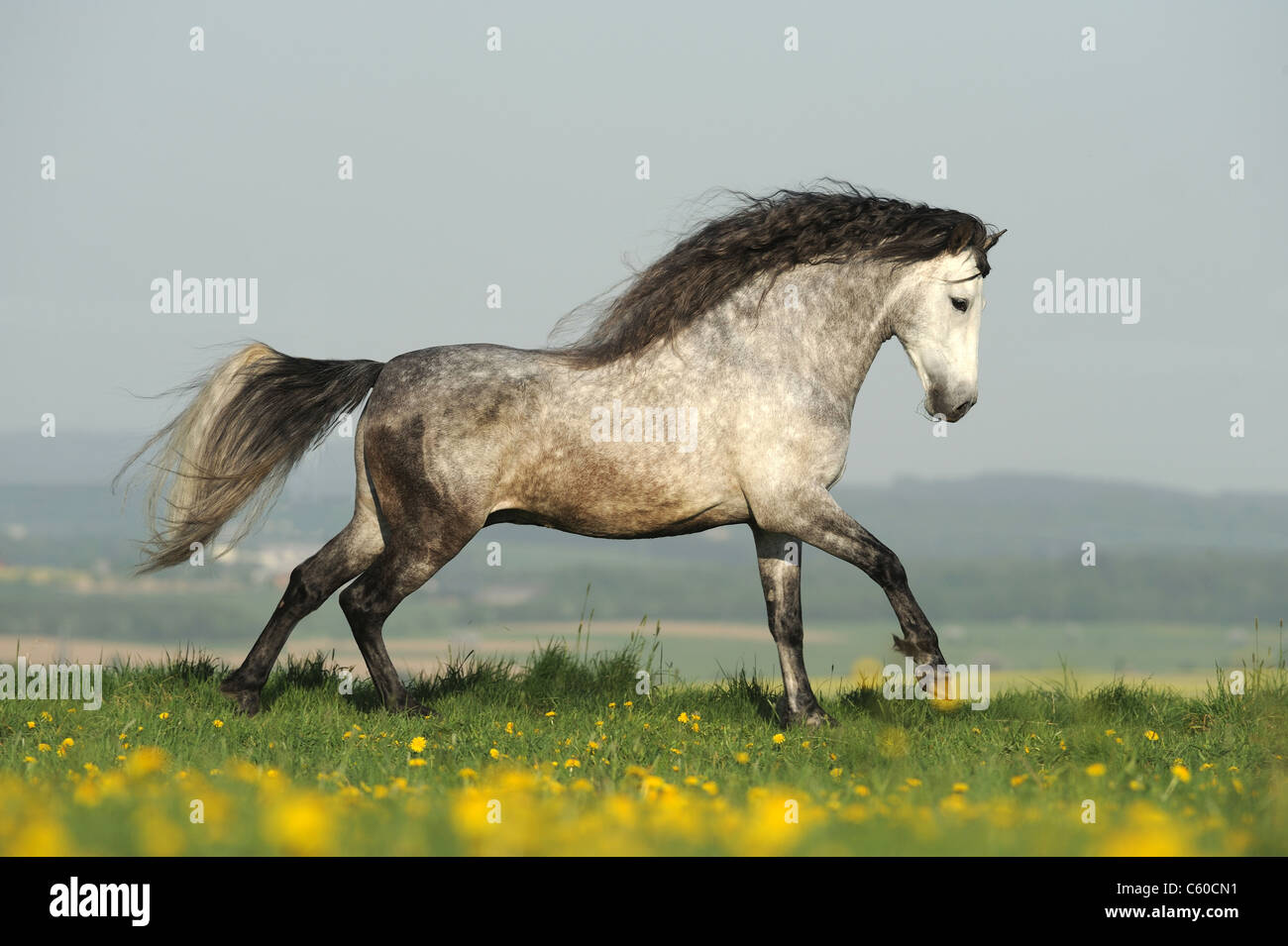 Andalusian Horse (Equus ferus caballus). Dapple-gray stallion in a gallop on a meadow. - Stock Image