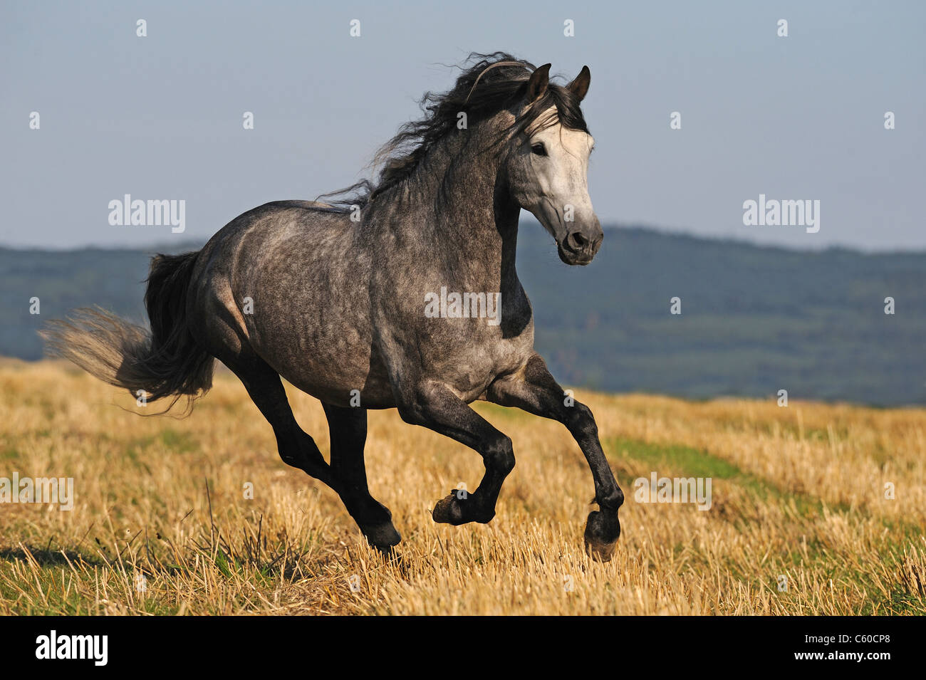 Andalusian Horse (Equus ferus caballus). Dapple-gray stallion in a gallop on a stubble field. Stock Photo