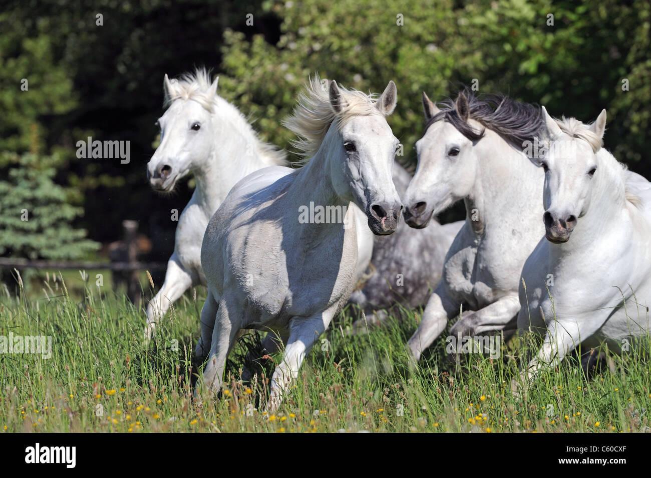 Connemara Pony (Equus ferus caballus), herd in gallop on a meadow. - Stock Image