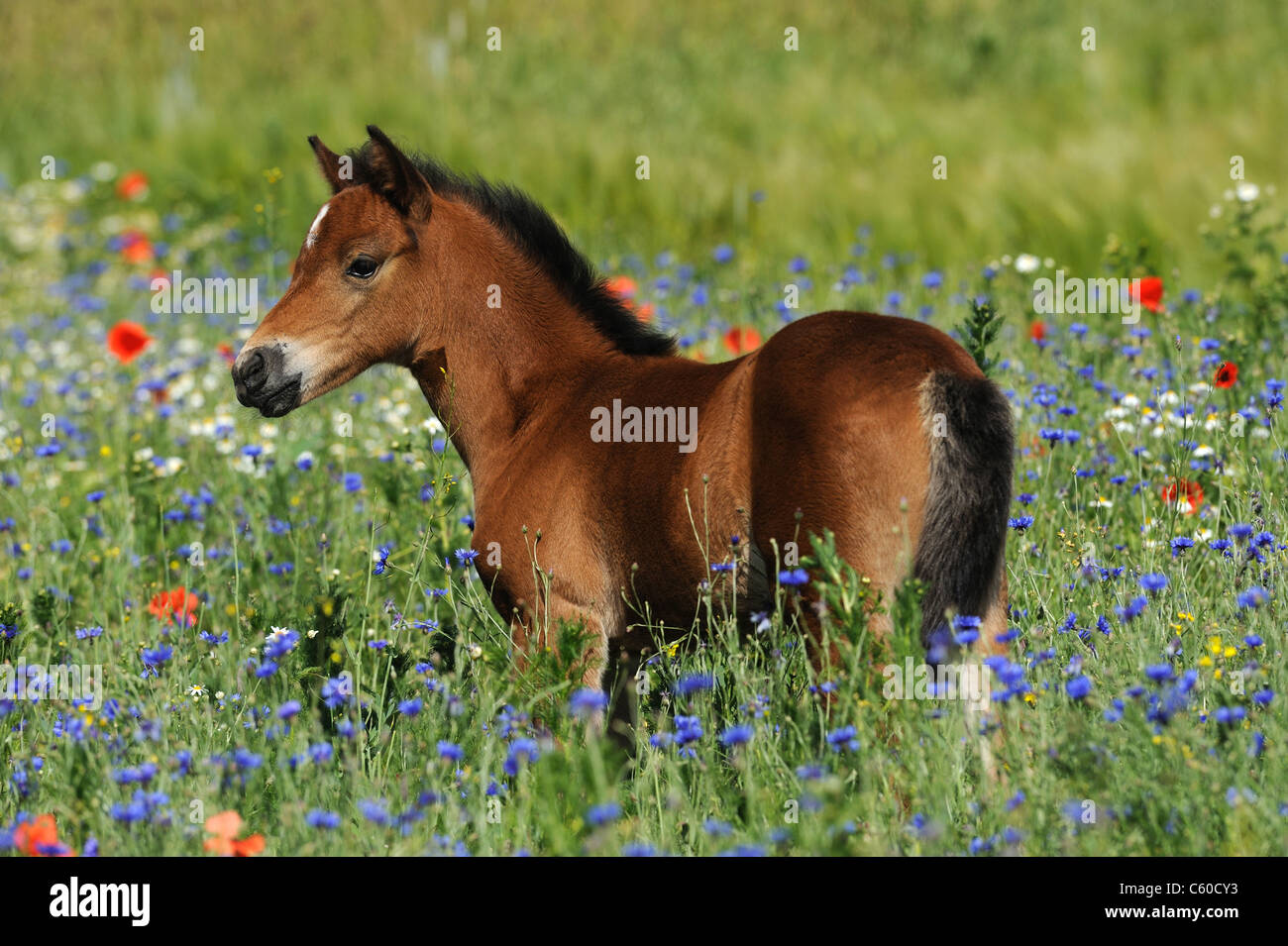 German Riding Pony (Equus ferus caballus). Foal standing among flowering poppies and cornflowers. - Stock Image