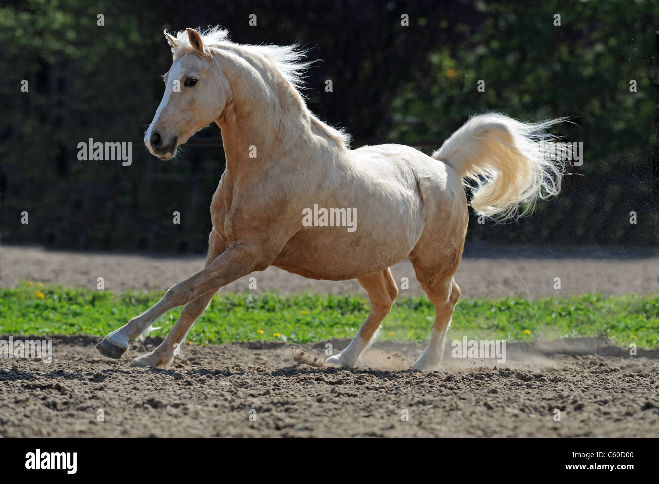 German Riding Pony (Equus ferus caballus). Palomino gelding in a gallop on a paddock. - Stock Image