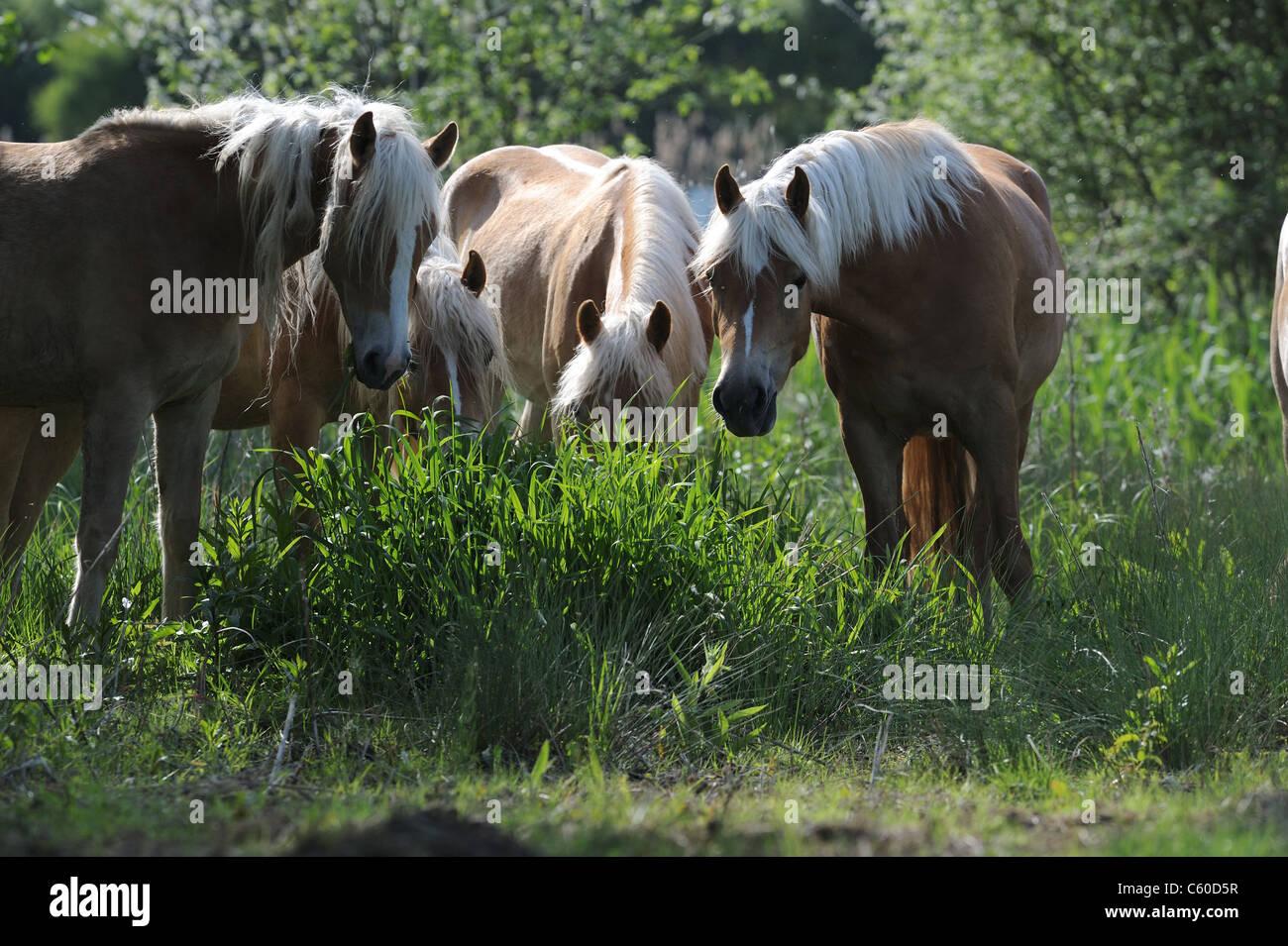 Haflinger Horse (Equus ferus caballus). Group of mares eating grass. - Stock Image