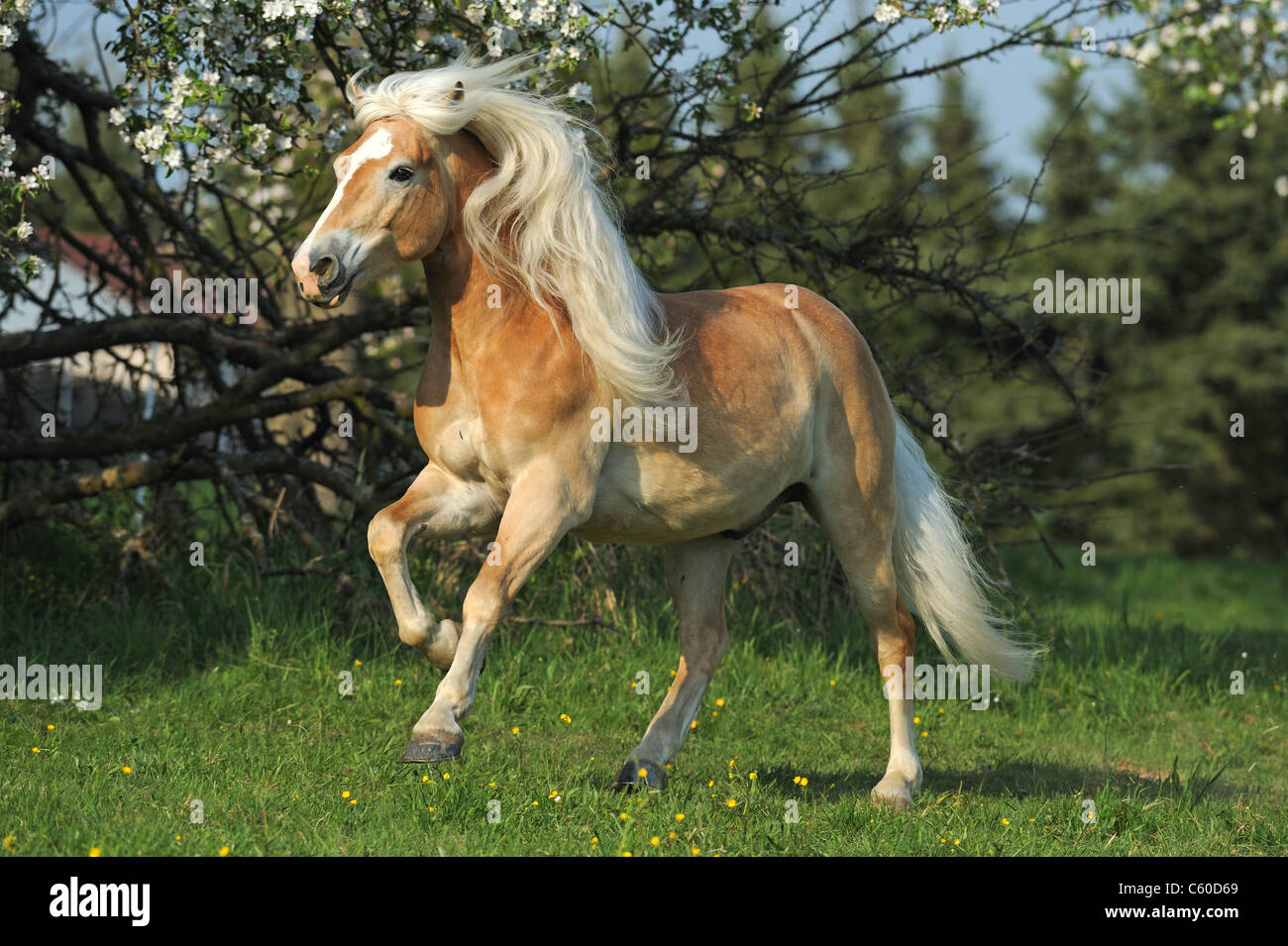 Haflinger Horse (Equus ferus caballus). Gelding in gallop on a meadow. - Stock Image