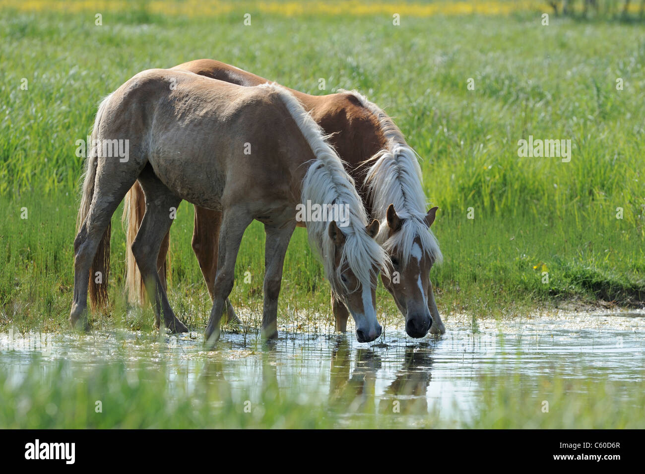 Haflinger Horse (Equus ferus caballus). Two young mares drinking from a pond. - Stock Image