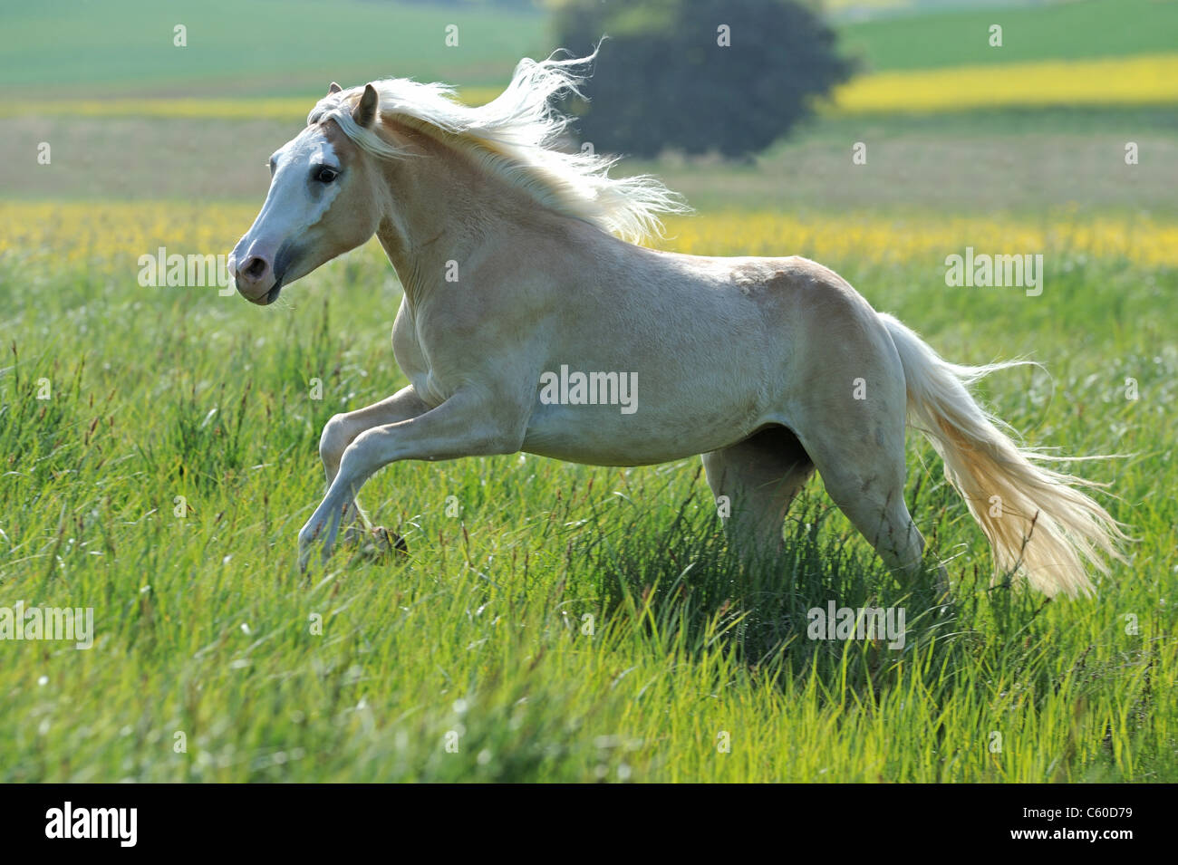 Haflinger Horse (Equus ferus caballus). Young mare in a gallop through tall grass. - Stock Image