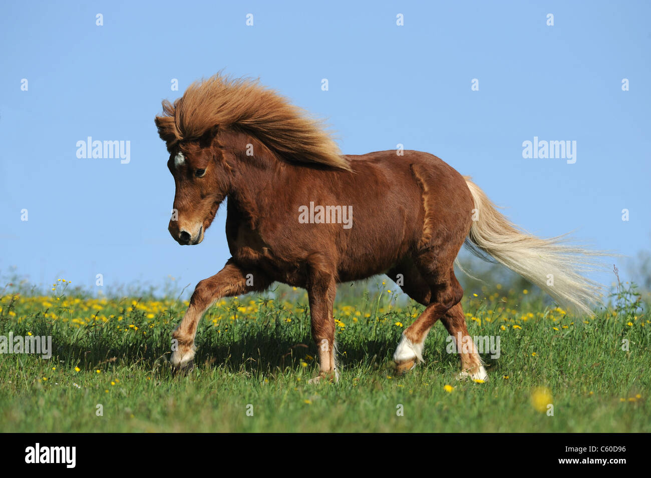 Icelandic Horse (Equus ferus caballus) in a trot on a meadow. - Stock Image