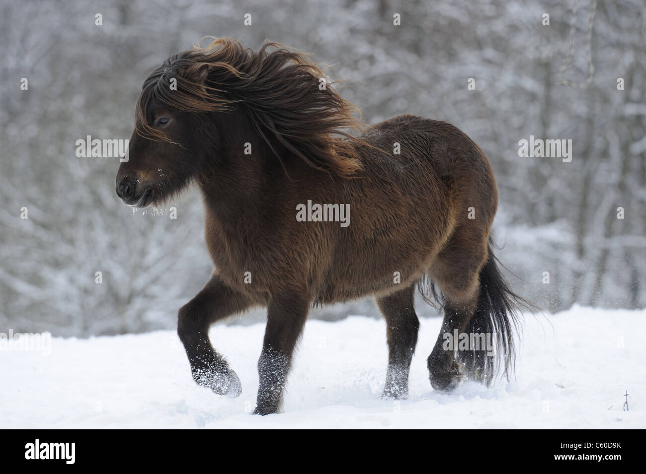 Icelandic Horse (Equus ferus caballus), mare in a trot on a snowy meadow. - Stock Image