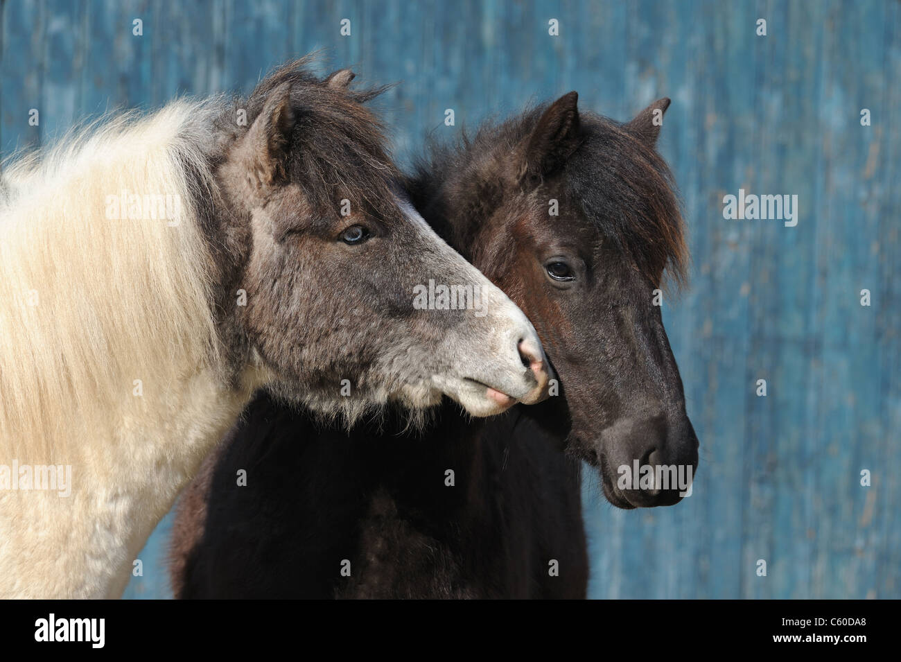Icelandic Horse (Equus ferus caballus). Young stallion sniffing at young mare. - Stock Image