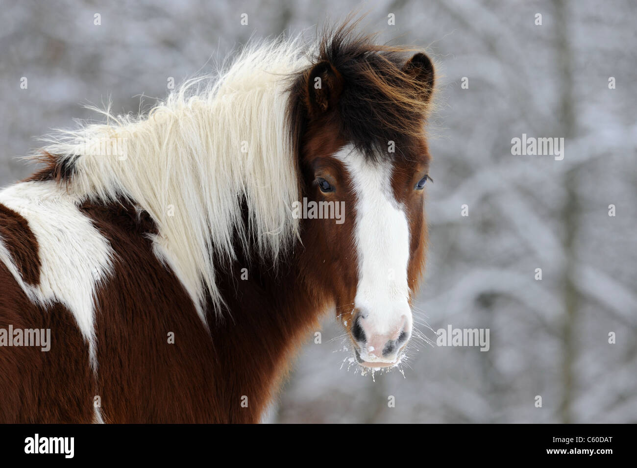 Icelandic Horse (Equus ferus caballus). Portrait of a brown and white pinto mare in winter. - Stock Image
