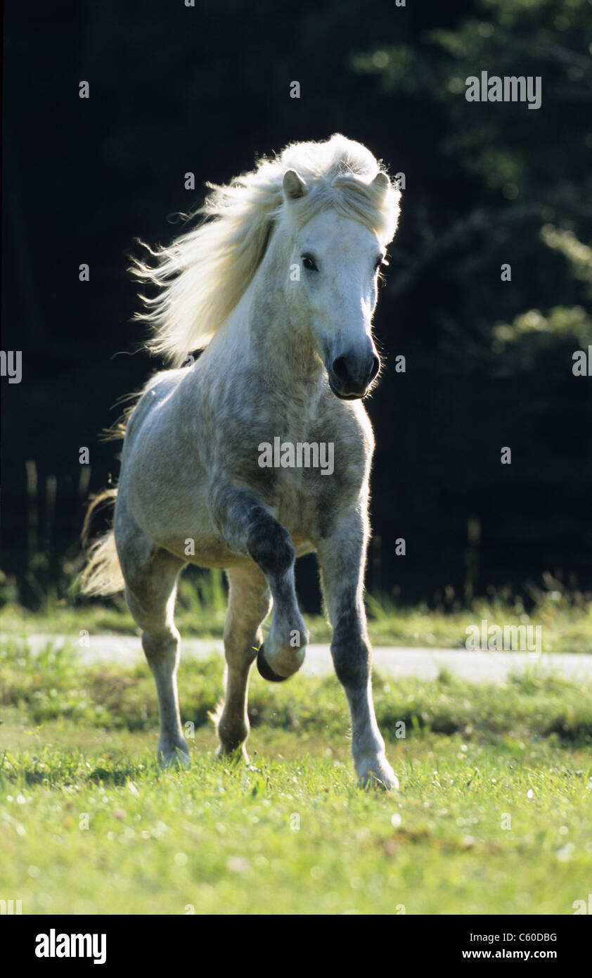 Icelandic Horse (Equus ferus caballus). Dapple-gray stallion in a gallop on a meadow. - Stock Image