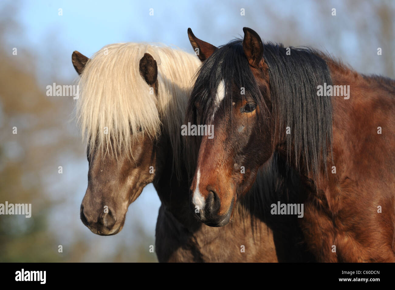 Mangalarga Marchador and Icelandic Horse (Equus ferus caballus). Portrait of two young stallions on a meadow. - Stock Image