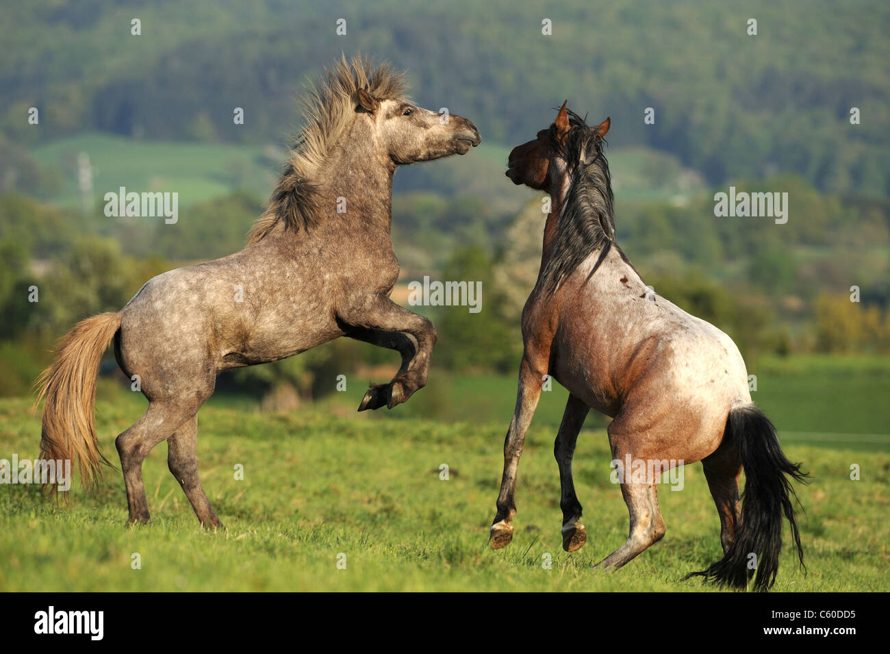 Mangalarga Marchador and Icelandic Horse (Equus ferus caballus). Two young stallions squabbling on a meadow. - Stock Image
